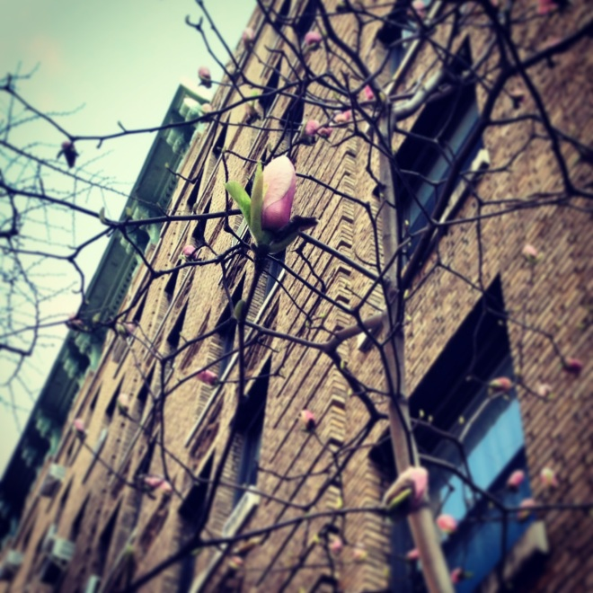 The first buds in front of my apartment building in NYC.